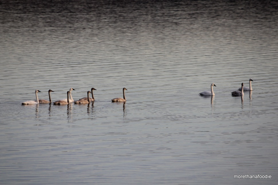 tundra and trumpeter swans on the lake