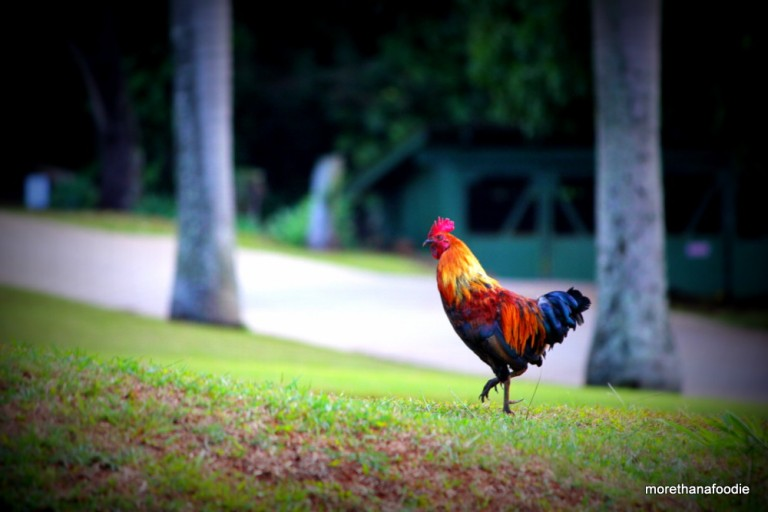 wild rooster kauai cock