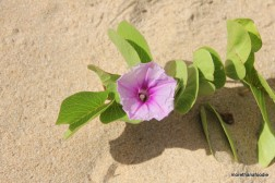 flower on barking sands beach