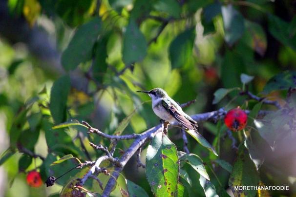 hummingbird at rest iowa